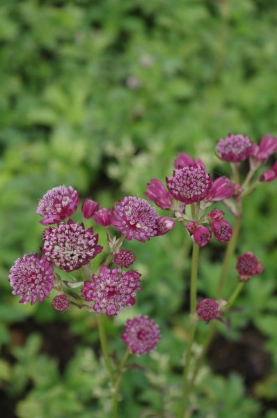 Astrantia major Ruby Cloud 'Sterndolde'