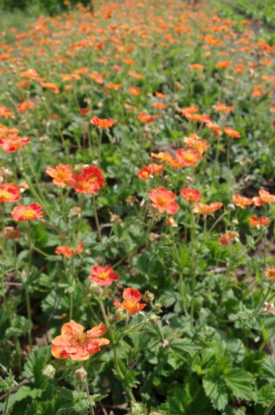 Geum rivale Flames of Passion 'Nelkenwurz'