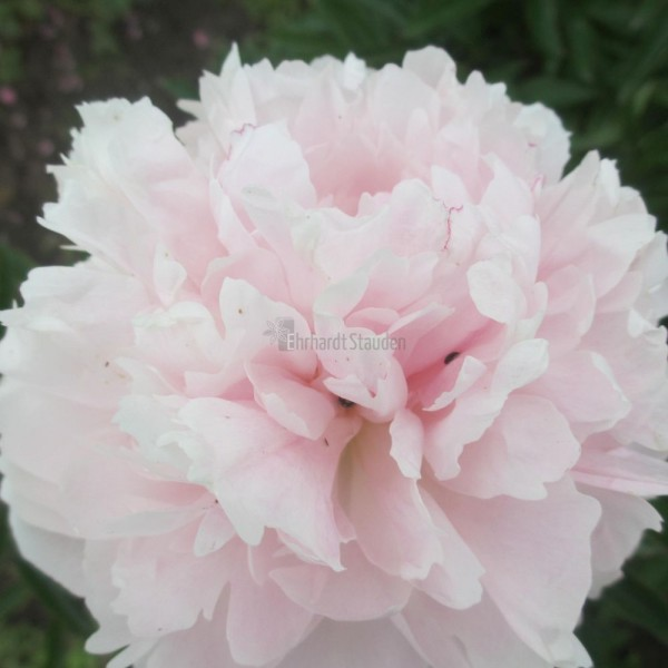 Paeonia lactif.-Hybr.'Mother´s Choice' Vierecktopf