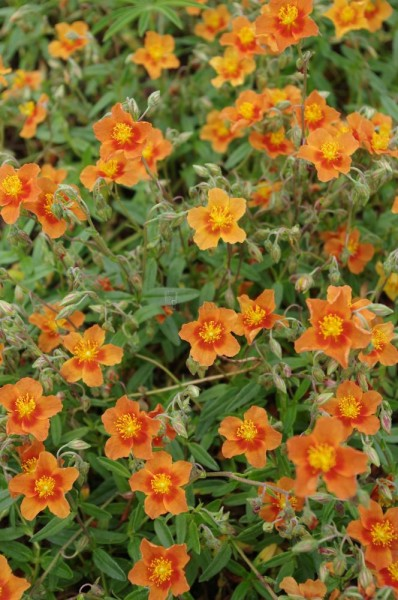 Helianthemum Hybr.'Watergate Orange'